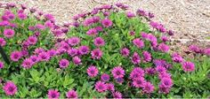 Learn how to grow and care for beautiful osteospermum. These sun-loving annuals are ideal for flower borders and containers! Houseplants, Garden Plants, Pink Flowers, Perennials, Home And Garden, Landscape, Beautiful, Farms, Costa