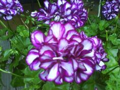 1000 images about pelargoniums and geraniums on pinterest geraniums scented geranium and - How to care for ivy geranium ...