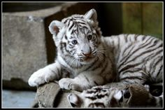 I may or may not be absolutely in love with white tigers!