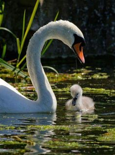 Swan and Signet - Mother and baby swan Beautiful Swan, Most Beautiful Birds, Pretty Birds, Nature Animals, Animals And Pets, Baby Animals, Cute Animals, Beautiful Creatures, Animals Beautiful