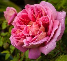 celebrating life on this good earth - Blog - The Endeavour - a David Austin rose