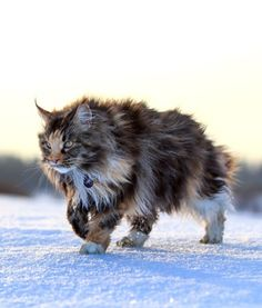 this is not a wild cat, but a beautiful Maine Coon