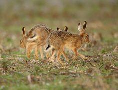 Brown Hares at Halls Farm Norton   Mike Rae
