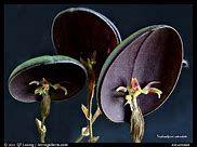 Trichosalpinx rotundata - Bing images Strange Flowers, Unusual Flowers, Rare Flowers, Black Flowers, Amazing Flowers, Weird Plants, Unusual Plants, Rare Plants, Exotic Plants