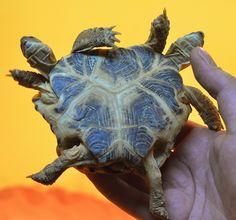 Uma tartaruga com duas cabeças e seis patas está em exibição no Museu de História da Ciência de Kiev, capital da Ucrânia. O réptil de 5 anos de idade possui também dois corações, mas apenas um intestino. O animal será mantido em exposição até o dia 20 de abril de 2012.