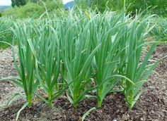 Plant Garlic in between your Asparagus and other  garden plants to keep pests out. Rabbits and bugs don't like it, and other Asparagus growing tips.