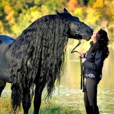 Black Friesian with magnificent mane