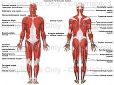 Labeled Diagram Of Muscular System . Labeled Diagram Of Muscular System Human Anatomy Muscular System Diagram Fresh Muscular System Muscular System Labeled, Human Muscular System, Human Anatomy Drawing, Human Anatomy And Physiology, Anatomy Study, Soleus Muscle, Sternocleidomastoid Muscle, Muscle Diagram, Nursing