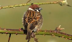 Eurasian Tree Sparrow (Passer montanus) Tree Sparrow perched on a brier
