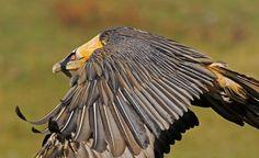 Bearded Vulture, Spain.