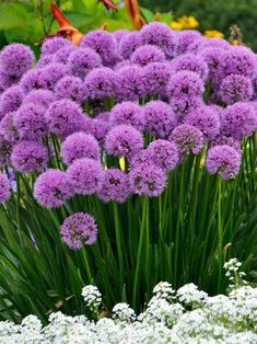 Allium Millenium (Ornamental Onion) The PPA 2018 Plant of the Year, this globe-shaped rosy-purple flower adds a fascinating focal point to your late summer garden. Mature plants are covered in dozens of flowers. Unlike many Ornamental Alliums, this hybr Flower Garden, Purple Flowers, Allium Flowers, Plants, Beautiful Flowers Garden, Flower Garden Design, Purple Flowers Garden, Summer Garden, Summer Flowers