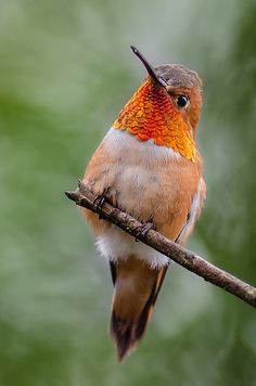 Proudly showing off the metallic  iridescence of its beautiful gorget feathers! .Rufous Hummingbird perched on a twig.