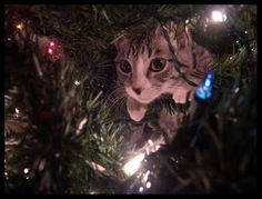 Decorate Your Christmas Tree with Cats! ~ Amazing Animals