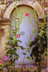 Hollyhocks in front of a rarely used white door