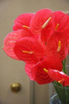 Anthurium Jewel red