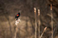 Evening Redwing Blackbird Call - Explore | by TroyMarcyPhotography.com