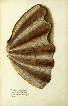 Sea shells and other sea shore objects. Ulisse Aldrovandi, animals; Italian illustration  vintageprintable.com/wordpress/