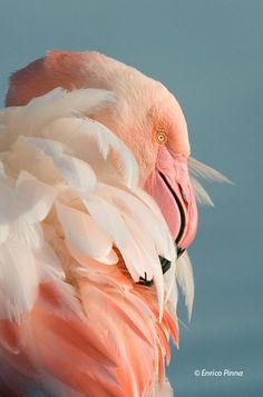 Fenicottero, #Sardegna #Flamingo