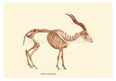 kudu skeleton - Google Search