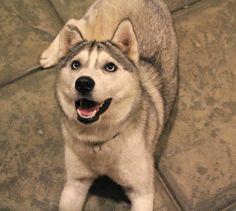 My baby! #cute #puppy #husky