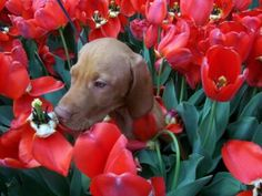 Vizsla puppy in a bed of tulips - two of my favourite things!