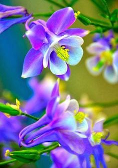 50 Pcs European Columbine Seeds Aquilegia Vulgaris Rare Bonsai Beautiful Flower Seeds For Home Garden Perennial Plants. Exotic Flowers, Amazing Flowers, Purple Flowers, Beautiful Flowers, Beautiful Gorgeous, Columbine Flower, Shade Plants, Flower Seeds, Trees To Plant