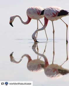 with Even the pinkest of flamingos starts out grey these beautiful big birds get their different pink shades from what they eat Laguna de Chaxa is home of three of the six species of the worlds flamingos and its a beautiful place Big Bird, Instagram Feed, Chile, Beautiful Places, Shades, Birds, Eat, Grey, Pink