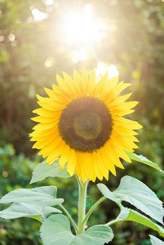 i love sunflowers i want these in my bouquet when i get married :)