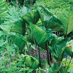 Colocasia esculenta 'Coffee Cups'