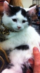Sterling is an adoptable American Shorthair Cat in Richland, WA. This darling little kitten and his sister, Selena, are the last two in a litter of 4. Their foster mom would love to see them go to a ...