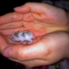 Baby hamster! GAHHH! It's so tiny!!!