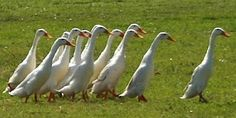Indian Runner Duck - These ducks have to run, because they can't fly! Unlike normal domestic ducks they walk around erect like penguins. They are also one of the best laying ducks and can produce 180-200 eggs a year!