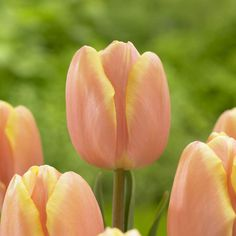 Marin Independent Journal details the newest bulbs for fall, like this Mango Charm tulip.