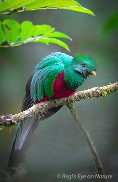 Quetzal ¡Hermoso! Son aves tan fascinantes n.n  Próximo tatuaje: QUETZAL