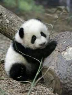 type of pandas - baby panda images and pictures, the cutest animal in the world Cute Baby Animals, Animals And Pets, Funny Animals, Wild Animals, Panda Love, Cute Panda, Types Of Pandas, Photo Panda, Panda Kawaii