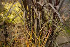 While Pennisetum 'Vertigo' doesn't change colour during Autumn, it's constant brooding colouring is a fabulous foil for its bedmates. Seen here with Panicum 'Rostralbusch', I love how the more solid 'Vertigo' contrasts with the ephemeral blooms and golden hue of the Panicum.