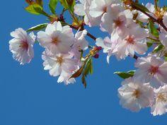 cerezos japoneses, flor, los cerezos en flor