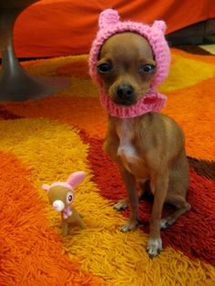 Chihuahua in a pink crochet hat