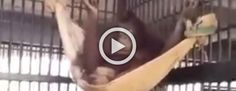 La inteligencia de esta orangutan sorprende al mundo con éste vídeo viral #viral
