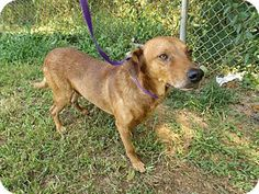 08/10/15-HEARTSTICK FACILITY - SUPER URGENT - Rome, GA - Hound (Unknown Type)/Shepherd (Unknown Type) Mix. Meet 15D-1299 (7/31), a dog for adoption. http://www.adoptapet.com/pet/13532759-rome-georgia-hound-unknown-type-mix