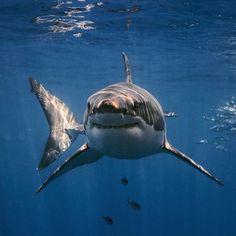 Save The Sharks, Cool Sharks, Whale Sharks, Beautiful Sea Creatures, Animals Beautiful, Cute Animals, Underwater Creatures, Ocean Creatures, Shark Photos