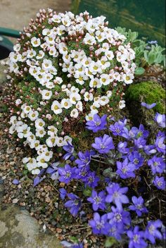 Entry by Michael and Caryl Baron A small round trough Trough contains Sax.Cumulus, Hepatica nobilis and Primula marginata Highland Mist