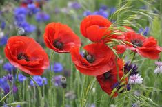Poppy Galore Photograph