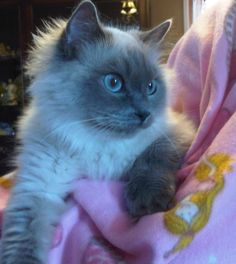Bree, 3 year old Radgoll, my new baby, loving, funny!