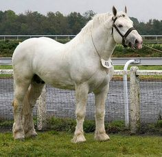 The Boulonnais has been nicknamed White Marble Horse due to its elegant, refined appearance for a Heavy Horse and the fact that the majority are white-looking grays. This refinement comes from Andalusian, Spanish Barb, and Arabian in its lineage. photo: Robbert-Jan.