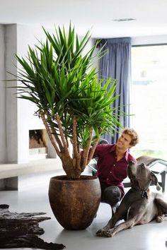 Комнатное растение Юкка - уход в домашних условиях http://www.myflora.com.ua/index.php?option=com_content&task=view&id=606&Itemid=133