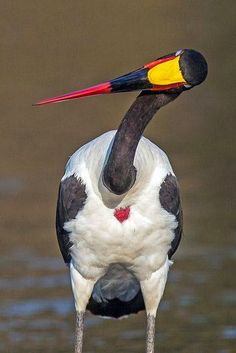 Saddlebill Stork - Mala Mala South Africa