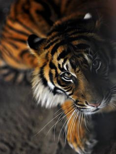 Bengal tigers live in India and are sometimes called Indian tigers. They are the most common tiger and number about half of all wild tigers. Over many centuries they have become an important part of Indian tradition and lore.