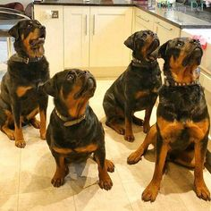 Is Your Rottweiler Driving You Crazy? Remove All The STRESS of Owning a Rottweiler: Dog Behaviour Breakthrough!!! - rottweiler #rottweiler #dog #doglovers #dogs #dogsofinstagram
