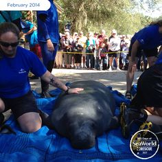 This big guy was rescued from the St. Johns River while suffering from cold stress and spent several months in rehabilitation at SeaWorld. Once he was deemed healthy, it was back to the wild for this survivor! #365DaysOfRescue